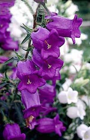 Колокольчик фиолетовый - фото цветка.